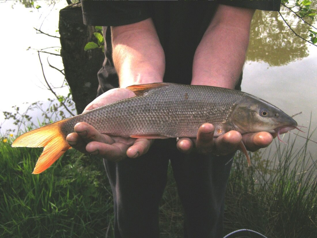 Our Barbel are growing nicely